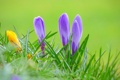 Картинка трава, природа, весна, крокус