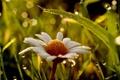 Картинка макро, ромашки, трава роса