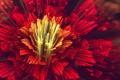 Картинка цветок, красный, лепестки, арт