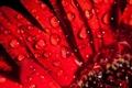 Картинка вода, капли, роса, лепестки, цвнток