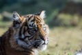 Картинка взгляд, детёныш, тигрёнок, Суматранский тигр