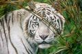 Картинка кошка, взгляд, морда, белый тигр, ©Tambako The Jaguar