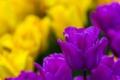 Картинка тюльпан, бутон, тюльпаны, боке