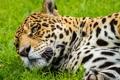 Картинка кошка, морда, ягуар