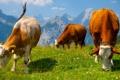 Картинка небо, горы, корова, луг, альпы