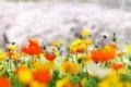 Картинка природа, весна, луг, маки
