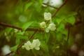 Картинка цветы, Весна, яблоня