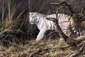 Картинка осень, животные, тигр, живопись, белый тигр, сухая трава, Alan M. Hunt