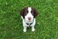 Картинка лето, трава, маленький, пес, спаниель, 11 week old springer spaniel