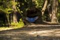 Картинка лес, птица, синяя, в полете, Shehzad Sheikn