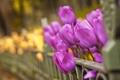 Картинка макро, цветы, фото, обои, тюльпаны, 2560x1600