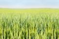 Картинка пшеница, поле, деревни, боке, фермы, поле пшеницы