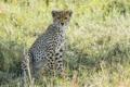 Картинка трава, взгляд, гепард, саванна, котёнок