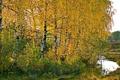 Картинка осень, природа, берёзы