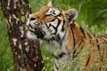 Картинка трава, тигр, дерево, берёза, дикая кошка