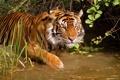 Картинка Тигр, погружение в воду, водоем, купание