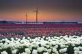 Картинка поле, закат, тюлпаны