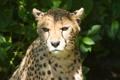 Картинка кошка, взгляд, солнце, блики, гепард