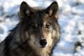 Картинка морда, волк, портрет, хищник