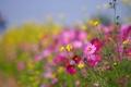 Картинка поле, растение, лепестки, луг, космея