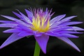 Картинка цветок, макро, цветы, flower, flowers, macro, Water Lily