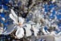 Картинка цветы, белые, магнолия, тюльпановое дерево