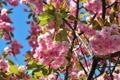 Картинка цветы, природа, сакура