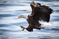 Картинка река, птица, белоголовый орлан, полет, вода, рыбалка, крылья