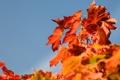 Картинка осень, небо, листья, природа, дерево, крона