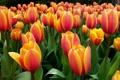 Картинка поле, лепестки, луг, тюльпаны, клумба