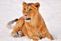 Картинка зима, язык, снег, игра, малыш, львенок