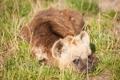 Картинка трава, взгляд, щенок, гиена, детёныш