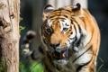Картинка морда, солнце, свет, тигр, хищник, клыки, дикая кошка