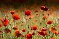 Картинка цветы, красный, маки, red, красивые, flowers, beautiful