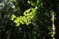 Картинка лес, деревья, солнце, Зелень, листва, веточка