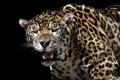 Картинка кошка, хищник, ягуар