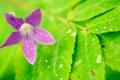 Картинка цветок, капли, природа, лист, роса, лепестки