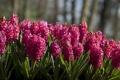 Картинка цветы, много, гиацинты