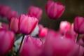 Картинка поле, цветы, весна, тюльпаны