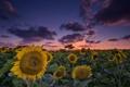 Картинка поле, лето, подсолнухи, вечер