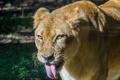 Картинка язык, кошка, морда, львица