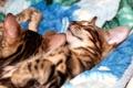 Картинка фон, сон, размытость, котята, бенгальские