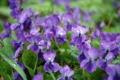 Картинка фиолетовый, капли, цветы, роса, растение, весна, сочно