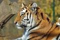 Картинка профиль, морда, полоски, тигр, лежит, усы