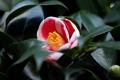 Картинка листья, кустарник, Camellia, камелия, цветение, бутон