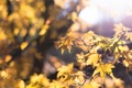 Картинка осень, листья, солнце, макро, свет, блики, жёлтый