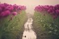 Картинка цветы, дорожка, тюльпаны