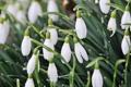 Картинка подснежники, белые, цветы