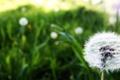 Картинка поле, цветок, макро, одуванчик, поляна, стебель, macro