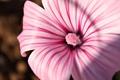 Картинка цветок, розовый, нежный